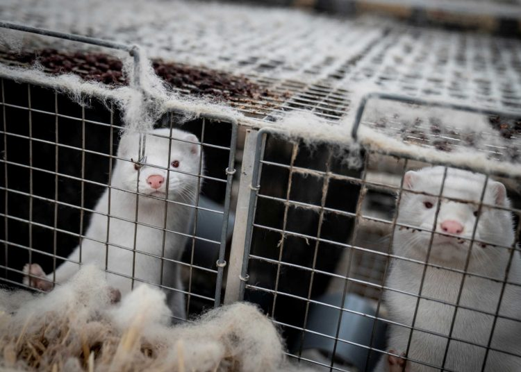 Mink are seen at the farm of Henrik Nordgaard Hansen and Ann-Mona Kulsoe Larsen near Naestved, Denmark, November 6, 2020. Ritzau Scanpix/Mads Claus Rasmussen via REUTERS. ATTENTION EDITORS - THIS IMAGE WAS PROVIDED BY A THIRD PARTY. DENMARK OUT. NO COMMERCIAL OR EDITORIAL SALES IN DENMARK.