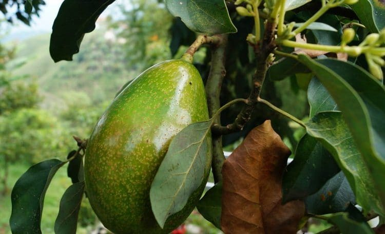 avocado 2192116 1280