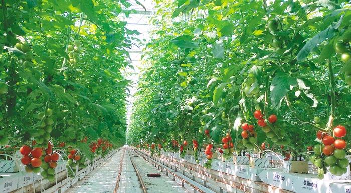lucias farm ydroponia tomata03