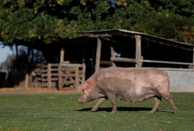 A pig is seen in a farm near Pergamino, on the outskirts of Buenos Aires during the spread of the coronavirus disease (COVID-19) in Argentina April 27, 2021. REUTERS/Agustin Marcarian